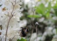 bee-white-blossom-2