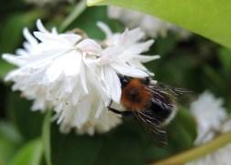 bee-white-blossom-6