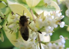 hone-bee-in-privet-2