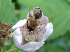 photo of bee on bramble