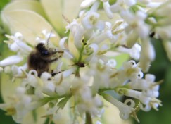 honey-bee-in-privet-1