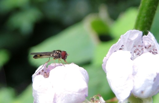 photo of hoverfly on bramble
