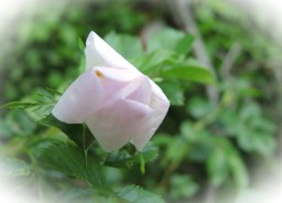 rambling-rose-bud