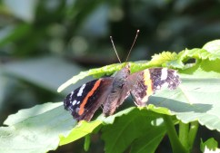 red-admiral-4