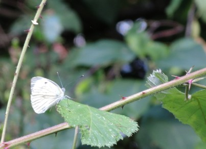 large-white-butterfly-2