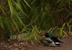 wye-ducks-3