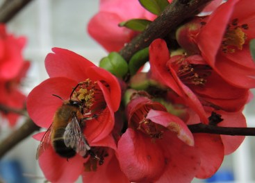 hairyfooted-flower-bee-quince-2