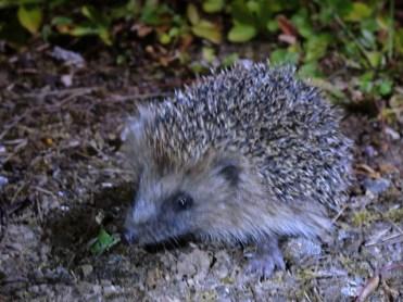 baby-hedgehog-020815a