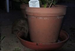 hedgehog-pot