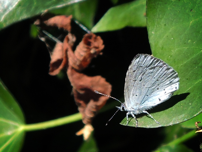 Photo of holly blue butterfly