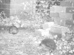IMAG0003-hedgehogs