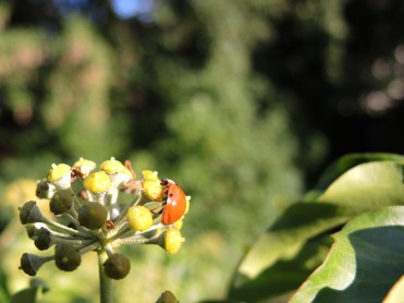 ladybird-2-ivy-270915