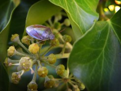 shield-bug-ivy-3-270915