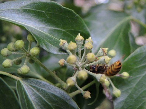 wasp-ivy-2