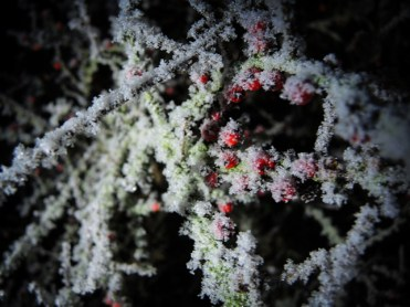 frosty-cotoneaster-2