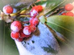 sugar-berries-1