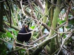 blackbird-250216-c