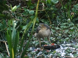 IMAG0085-sparrowhawk