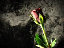 rose-DSCN3555
