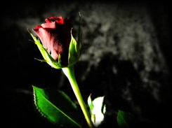 rose-DSCN3557-holga