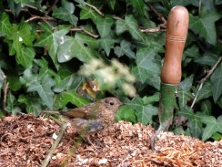 baby-robin-13