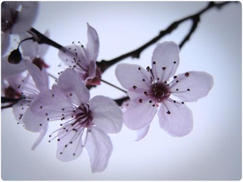 cherry-plum-white-border