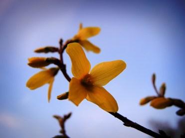 Photo of forsythia flower