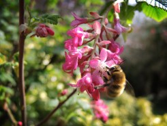 Photo of male hairy-footed flower bee