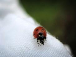 Photo of 7 spot ladybird