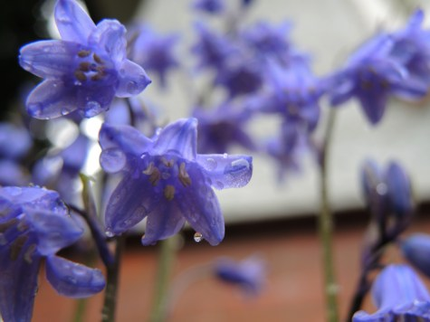 Photo of Hybrid Bluebells