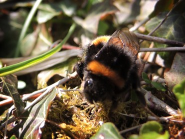 Photo of buff-tailed bumblebee queen