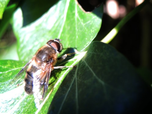 Photo of drone hoverfly