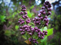 Photo of lilac buds about to bloom