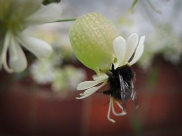 bee-bladder-campion-1
