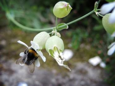 bee-bladder-campion-2