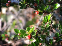 bee-cotoneaster-270516