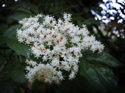 elder-flower-220516