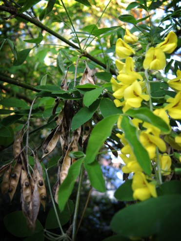 Photo of laburnum flowers and seed pods