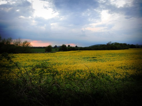 Photo of rapesee field