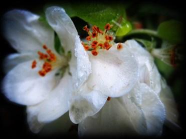 Photo of wet apple blossom