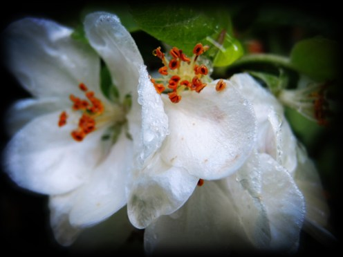 Photo of wet apple blossom