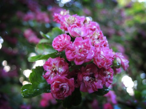 wet-hawthorn-blossom