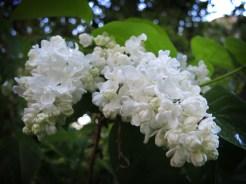 white-lilac-220516