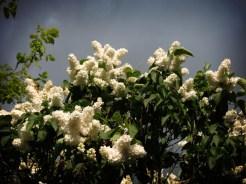 white-lilac-tree-1
