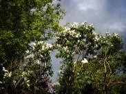 white-lilac-tree-2