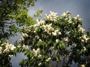 white-lilac-tree-4