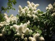 white-lilac-tree-5