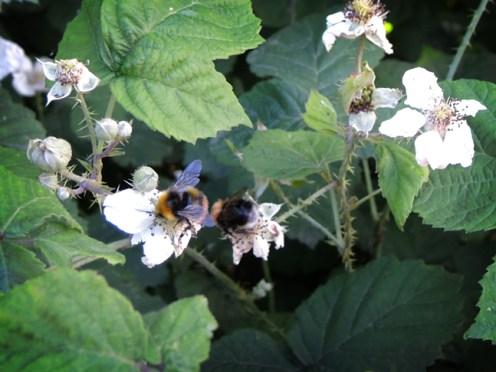 bee-bramble-3