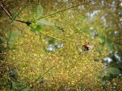 Photo of tree bee in smoke tree