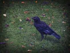 crow-150616-b